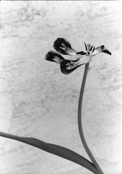 Marilyn Sanders, 'Tango Tulip', 2018