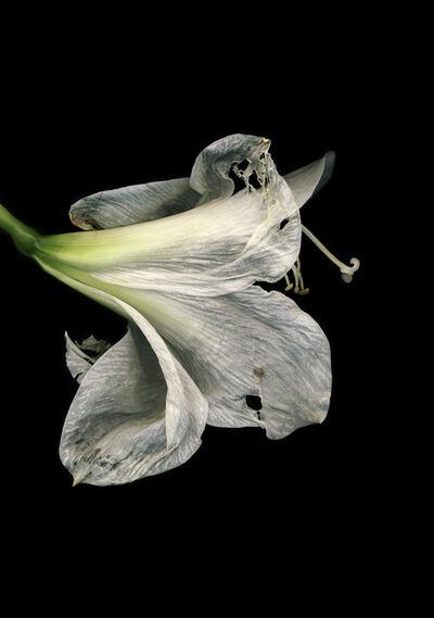 Jitka Hanzlová, 'Untitled (Amarili Hippeastrum white)', 2009