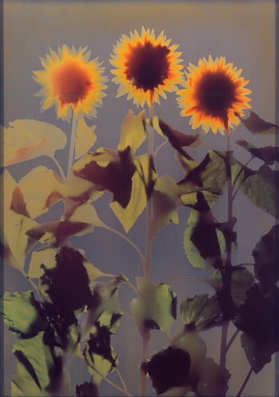 Adam Fuss, 'UNTITLED (SUNFLOWER)', 1995