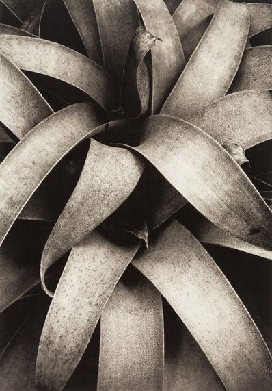 Kipton Kumler, 'Reeds, Wollesley, Fronds, Wollesley, and Succulent Plant (three photographs)'