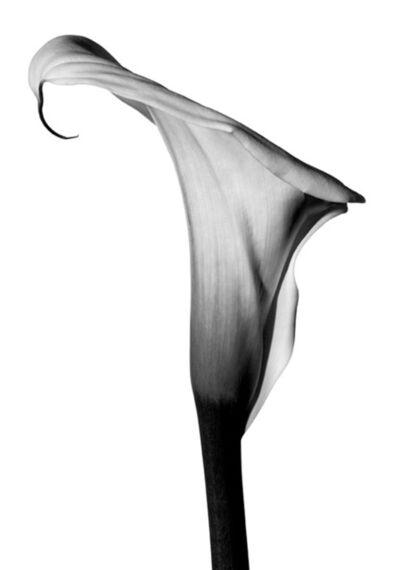 Myron Zabol, 'Lily I', 2006