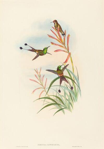 John Gould and H.C. Richter, 'Discura longicauda (Racket-Tail)'