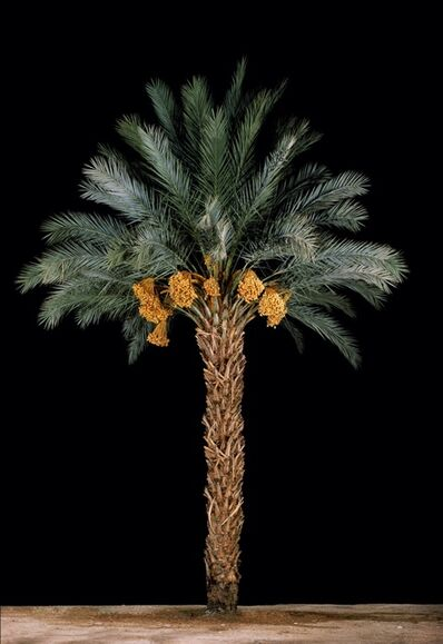 Tal Shochat, 'Date Palm #1', 2011