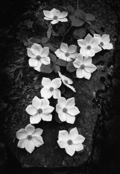 Ansel Adams, 'Dogwood Blossoms, Yosemite National Park, California', 1938