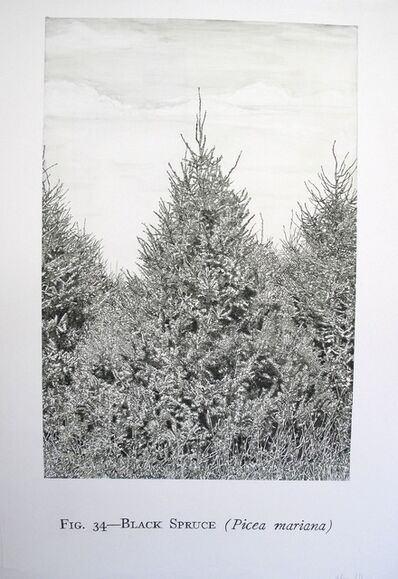 Helen Altman, 'Fig. 34 - Black Spruce', 2011