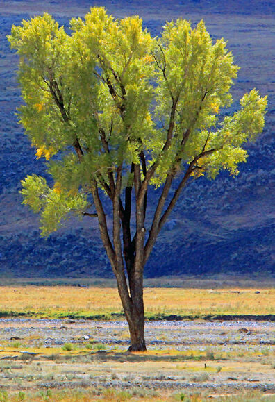 Larry Garmezy, 'Alone - Fall Foliage, Tree, Lamar Valley, Yellowstone landscape, Fall colors, in yellow green', 2016