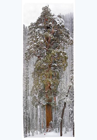 Michael Nichols, '3200 Year Old Giant Sequoia, California', 2012