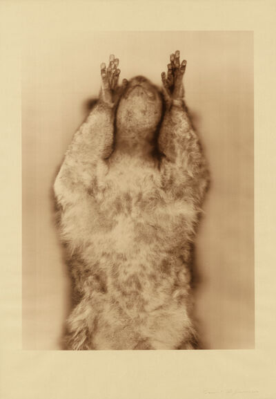 Ann Hamilton, 'Brown Greater Galago (Sepia)', 2017