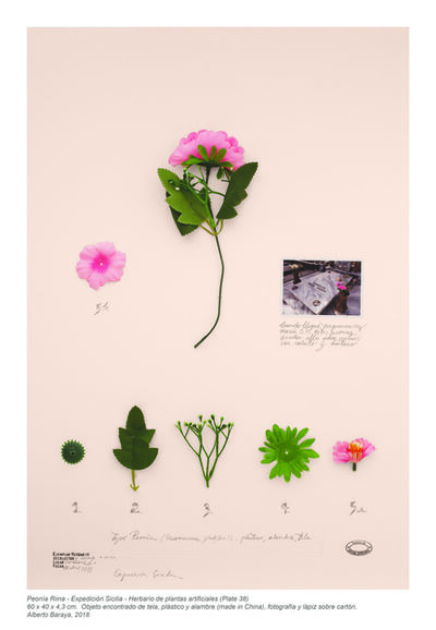 Alberto Baraya, 'Peonía Riina (Expedición Sicilia, Herbario de plantas artificiales)', 2018