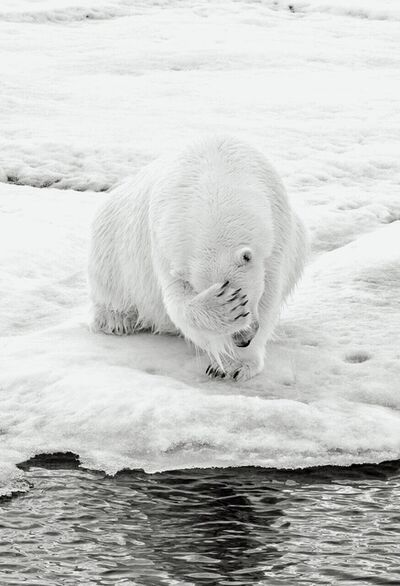Michael Aw, 'How Much Can A Polar Bear Bear? (Vertical)'