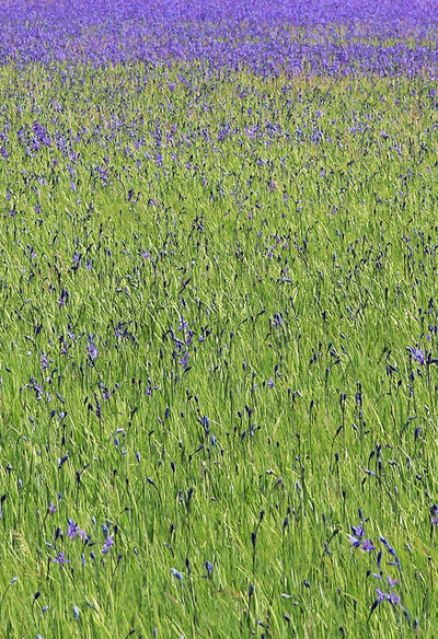 Larry Garmezy, 'Wild Irises - Wildflower photography, Yellowstone National Park, floral, impressionist, in green and violet / purple', 2017