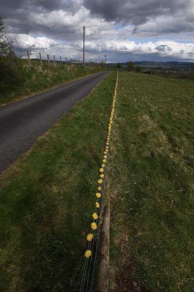 Andy Goldsworthy, 'Dandelion fence. Bogg Farm, 27 April, 2020', 2020