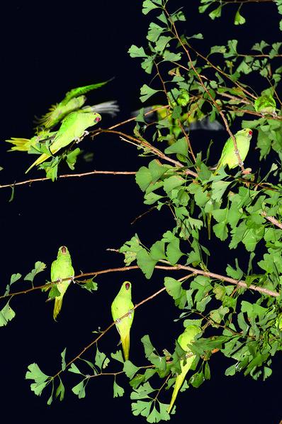 Yoshinori Mizutani, 'Tokyo Parrots 033', 2013