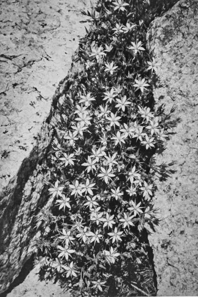 Ansel Adams, 'Flowers and Rock in San Joaquin Sierra', 1939
