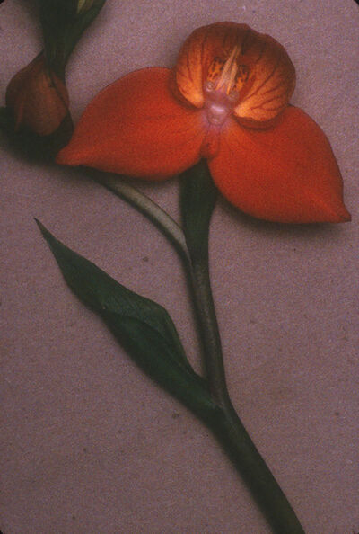 Sheila Metzner, 'From Life (Orange orchid with green stem)', 2000