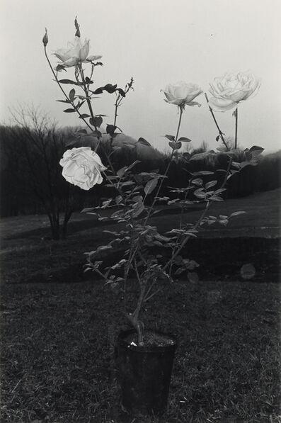 Lee Friedlander, 'Potted Rose, Putney, Vermont, from Flowers', 1975