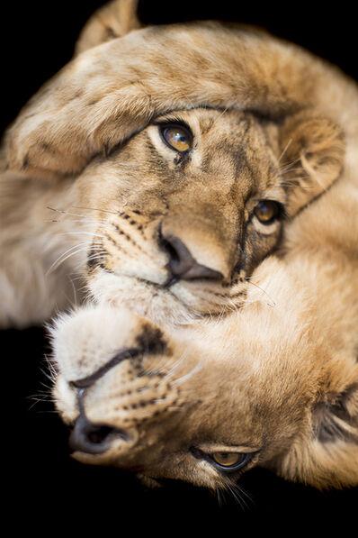 Marco Simoni, 'Panthera leo cubs', 2016