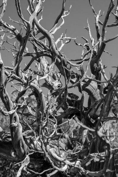 Bryson Rand, 'Bristlecone Pine II (Eagle, Colorado)', 2019
