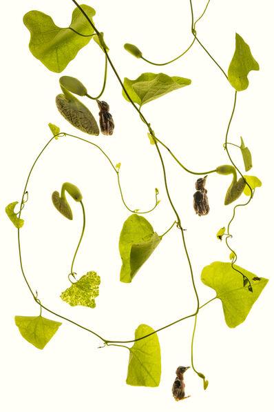Pesi Girsch, 'Aristolochia', 2016
