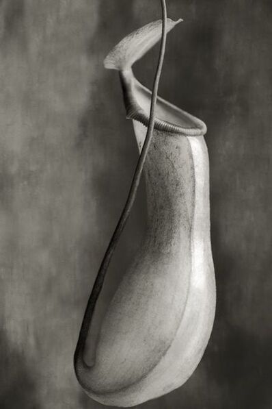 Beth Moon, 'Nepenthes Ventricosa', 2008