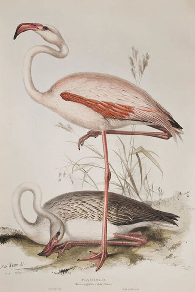 Edward Lear, '[A set of Four Wading Birds] Flamingo; Spoonbill; Common Heron; Purple Heron.', 1837