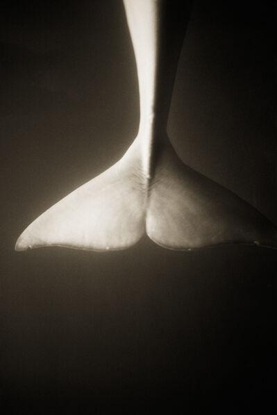 Henry Horenstein, 'Beluga Whale–Delphinapterus leucas'