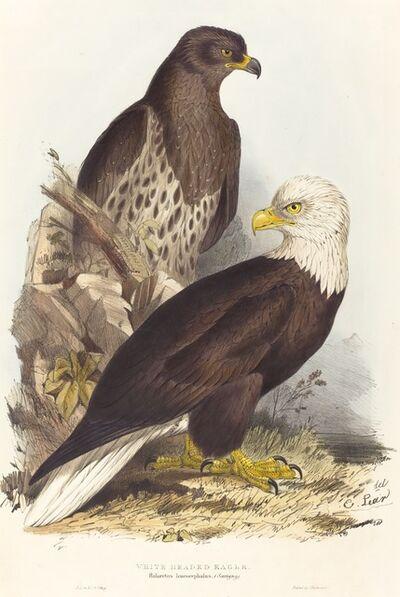Edward Lear, 'White Headed Eagle (Haliaetus leucocephalus)', published 1832-37