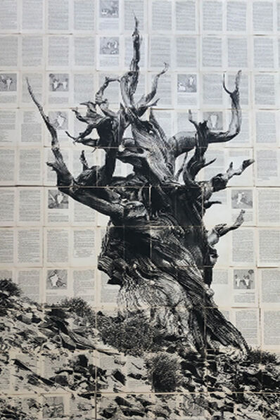 Mike Saijo, 'Ancient Brindlecone', 2019