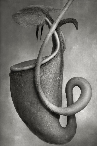 Beth Moon, 'Nepenthes Bicalcarata'