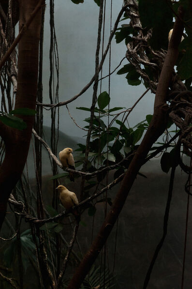 Giorgia Valli, 'Pied Imperial Pigeon 2', 2013
