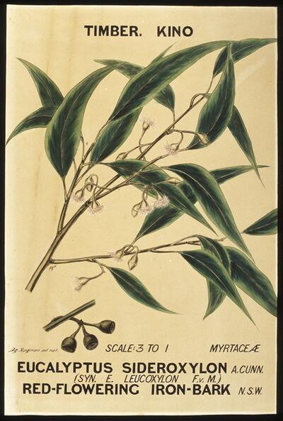 Agard Hagman, 'Botanical illustration, ' Eucalyptus sideroxylon (Red-flowering Iron Bark)', by Agard Hagman', 1888