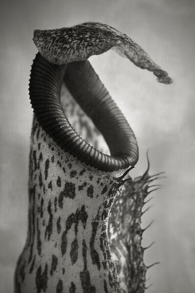 Beth Moon, 'Nepenthes Coccinea'