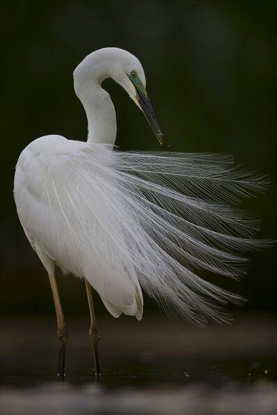 Maitham Almisry, 'Egret Feathers'