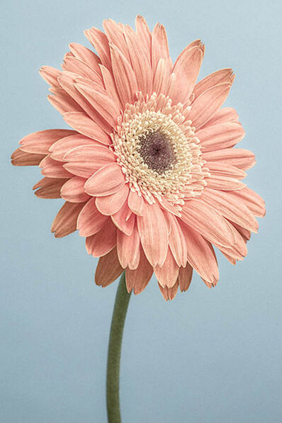 Paul Coghlin, 'Gerbera on Blue', 2014