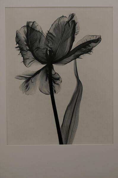 Judith McMillan, 'Tulipa (Parrot Tulip)', 1998
