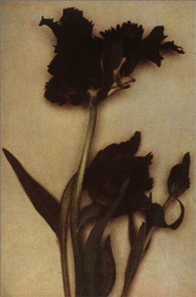 Sheila Metzner, 'Flower (Black Parrot Tulip)', 2000