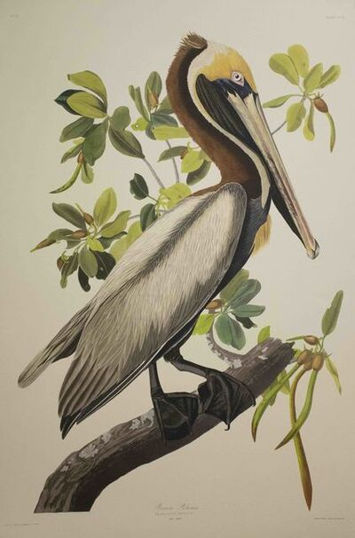 John James Audubon, 'Brown Pelican, Edition Pl. 251', ca. 1999