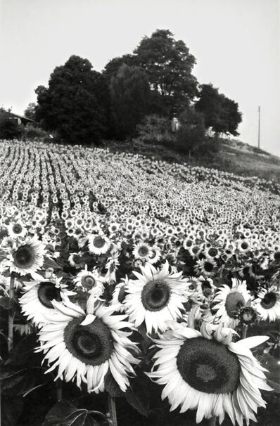 "Martine Franck, '""Sunflowers"", Cereste, Haute-Provence', 1984"