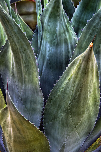 Mike Marvins, 'Untitled (Agave)', NA