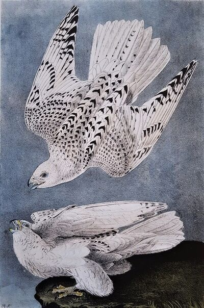 John James Audubon, 'Iceland or Gyr Falcon', 1840-1844