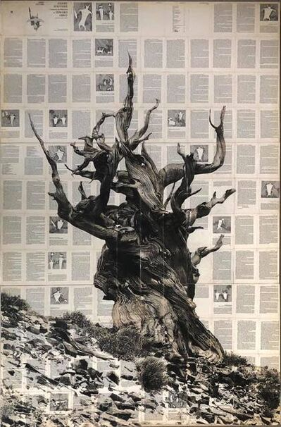 Mike Saijo, 'Ancient Brinstlecone', 2019