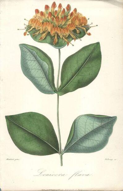 Francois Herincq, 'Lonicera flava', (Date unknown)