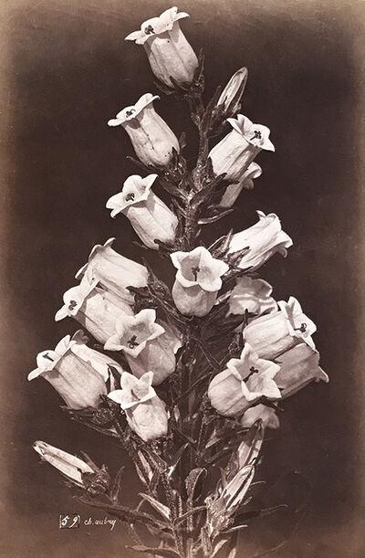 Charles Aubry, 'Large Bellflowers (Campanule)', 1864c/1864c