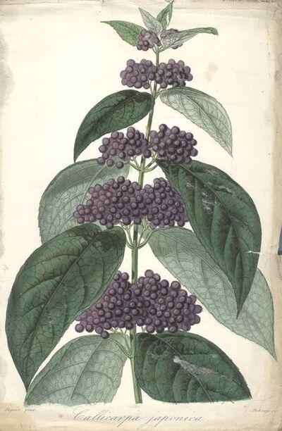 Francois Herincq, 'Callicarpa Japonica', 1861