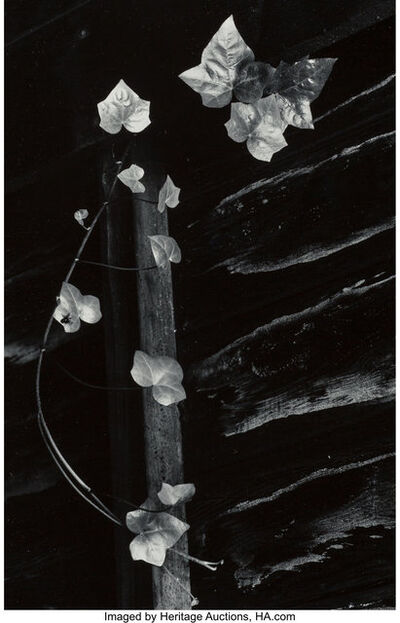 Minor White, 'Ivy, Portland, Oregon', 1964