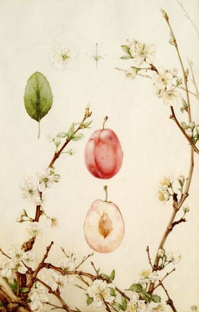 Edward Julius Detmold, 'Botanical Studies, An Apple and A Plum'
