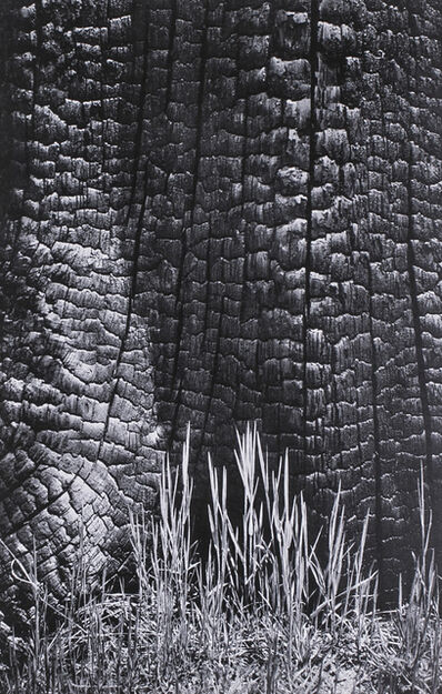 Ansel Adams, 'Grass and Burned Stump, Yosemite Valley, a Photograph by Ansel Adams', 1939