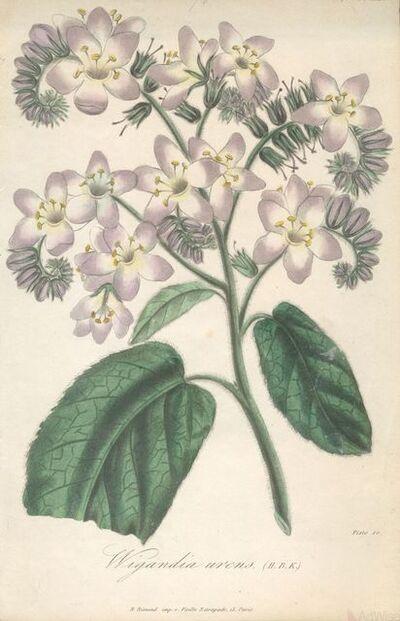 Francois Herincq, 'Wigandia urens (H.B.K.)', 1857