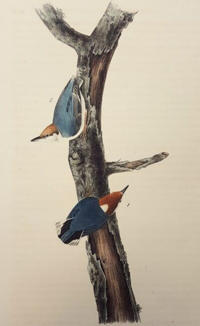 John James Audubon, 'Brown-headed Nuthatch', 1840-1844