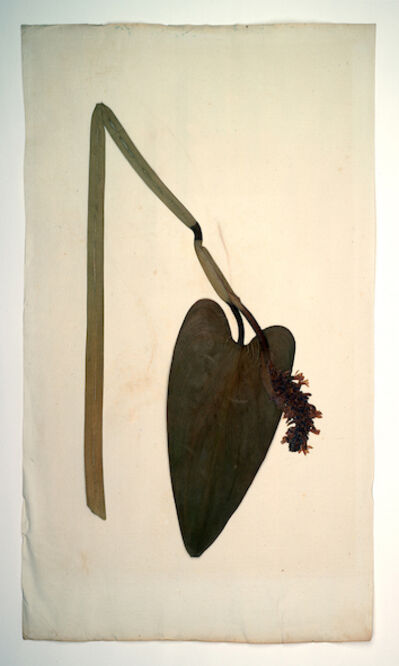 Manuel Frolik, 'Pontederia cordata 1897 (Herbarium Dresdense', 2018